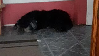 A dog napping