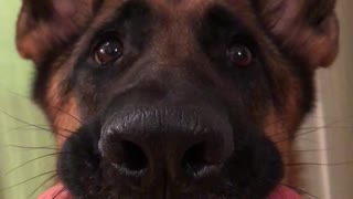German Shepherd smiles with hot dog in mouth