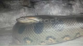 Cobra linda grande