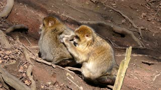 Two Busy Monkey