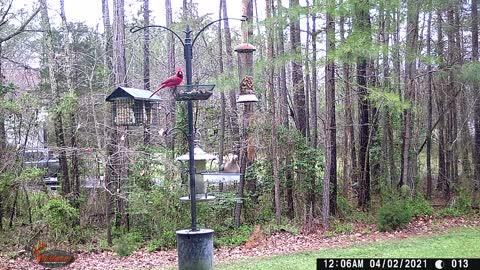 Mystery Animal on Trail Camera Footage 6:5:66