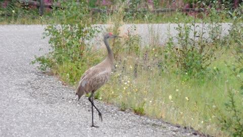 A Beautiful Sandhill Crane is walking on the road in Fairbanks, Alaska in August, 2021