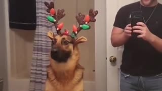 German Shepherd is Unsure About New Outfit