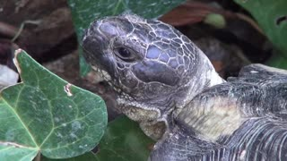 Greek wild turtle