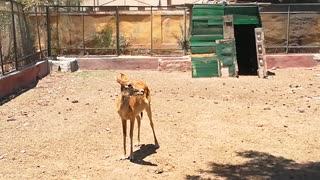 Female Young Deer Reactions To Strange Visitors