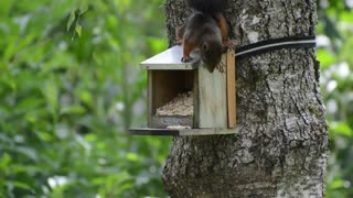 Squirrel Hides Food In Tree House