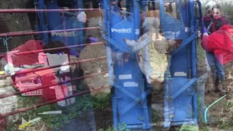 Herd Health: Registered Hereford Bulls