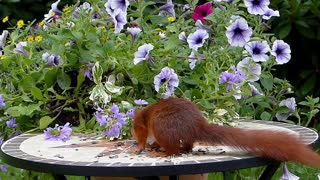 Squirrel Eats Thrown Nuts On Table