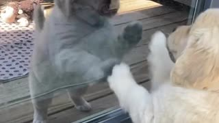 Golden Retriever puppy plays with her reflection in the glass door