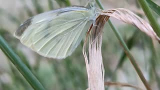 A cabbage white butterfly on a blade of grass