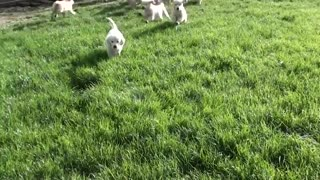 Golden retriever puppies are the best