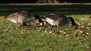 Female Geese Getting Some Fresh Worms Out For Eating