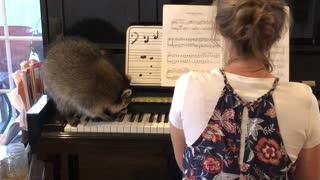 Raccoon Plays the Piano