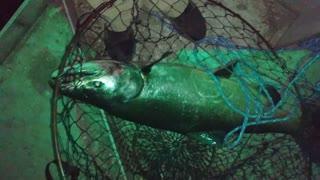 Deepwater channel salmon
