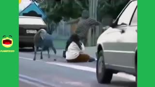 Very Angry Sheep Funny Attacking Pedestrians