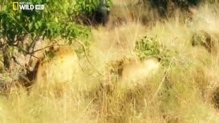 Lion Attack - Wildlife Animal Part - 01