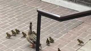 Ducklings Follow Mother Duck down Stairs