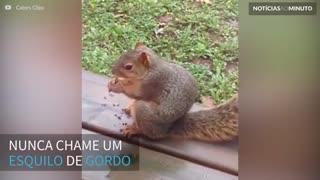 Esquilo odeia quando é chamado de gordo!