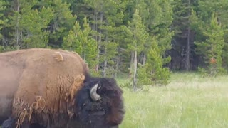 BISON UP CLOSE In Yellowstone National Park | David Sandy