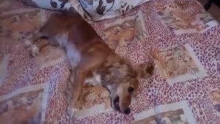 Spaniel dog going crazy