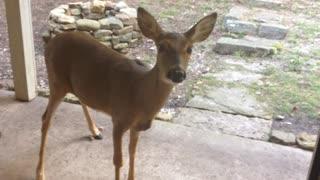 Deer Arrives at Caretaker's Front Door