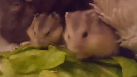 Baby dwarf hamsters enjoying a fresh meal