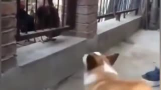 Funny Dog Fighting With Chicken Videos