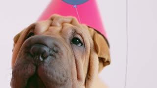 DOG CONGRATULATION SHAPPY BIRTHDAY