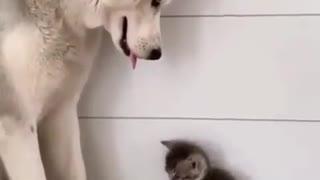 Husky loving her KITTEN