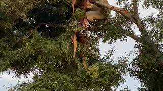 lioness attacks leopard
