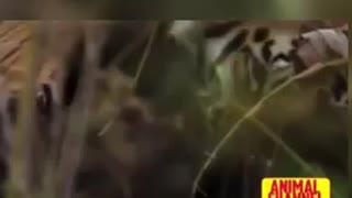 Fighting Tiger vs Slot bear