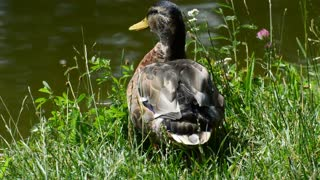 Duck Getting Ready For Lake Bath