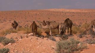 Dromedary Camels In Desert