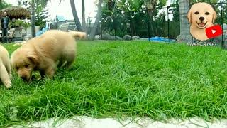 Golden Retriever Puppies Playing #3