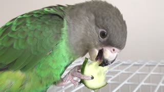 Healthy Parrot Snack - Cucumbers daily snack for parrots