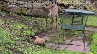 Wild deer really wants to make friends with cute bunny
