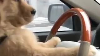 Cute Puppy likes steering