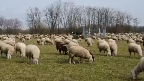"""peaceful sounds of sheep in a pasturee great ambiance for working, """"counting sheep,"""" or studying"""