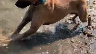 Dog plays with a rock!