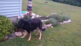 Yellow Jacket Eatin German Shepherd