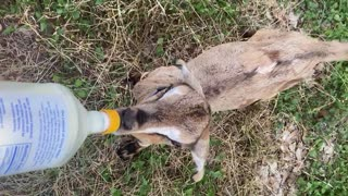 Adorable baby goat wags tail while nursing from a bottle