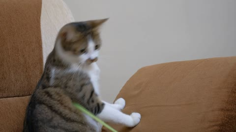 A pet owner playing with a cute cat with a straw.