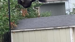 Squirrel Does Some Morning Breakfast Acrobatics