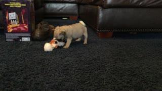 Sweet Baby Pug