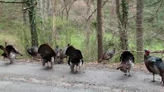 Turkeys on the street caught strutting their stuff