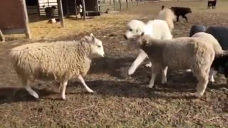 Great Pyrenees Breaks up Fight