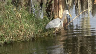 Good catch...Great Blue Heron swallows a snake