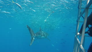 Multiple Great White Sharks approaching divers