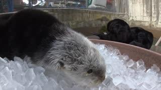Sea Otter Ice Session