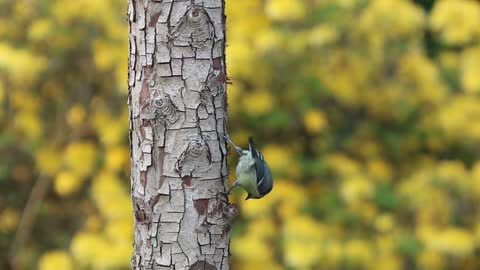 Watch and enjoy how the goldfinch gets food from a tree's trunk. Really fun